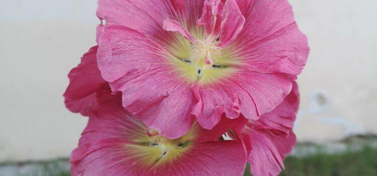 Topolovka růžová  – Slezová růže