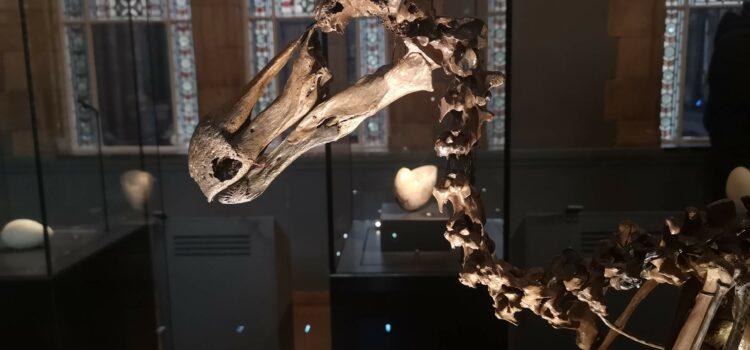 Dronte mauricijský v londýnském přírodopisném muzeu