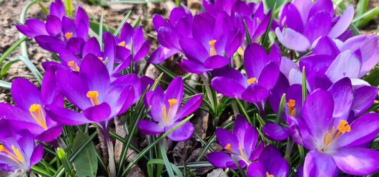 Jarní šafrány