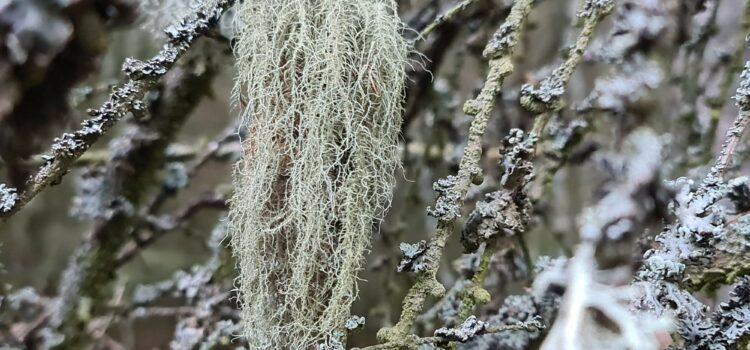 Krakonošovy vousy